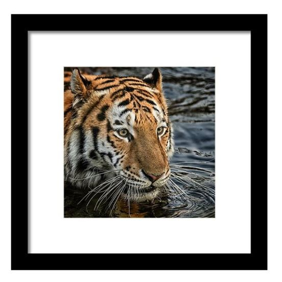 Special Offer - Swimming Tiger Framed Print