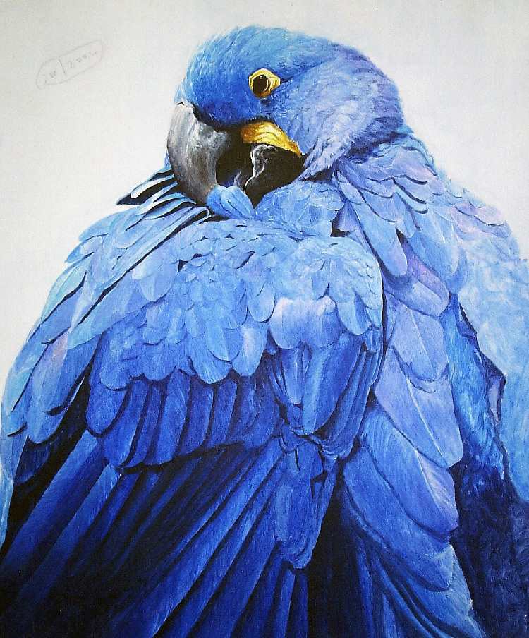 Hyacinth macaw (2004)  not for sale