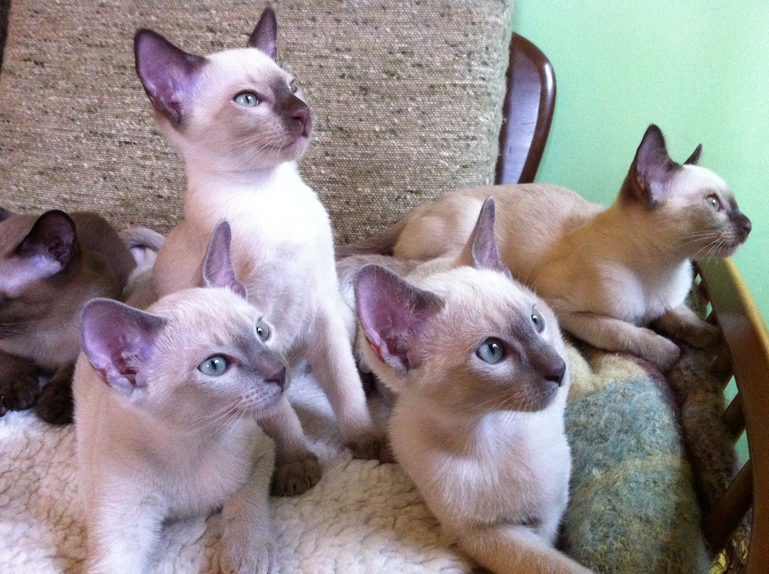Tonkinese Kittens For Sale Best Cat And Kitten Image And