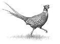 Pheasant 1jpg