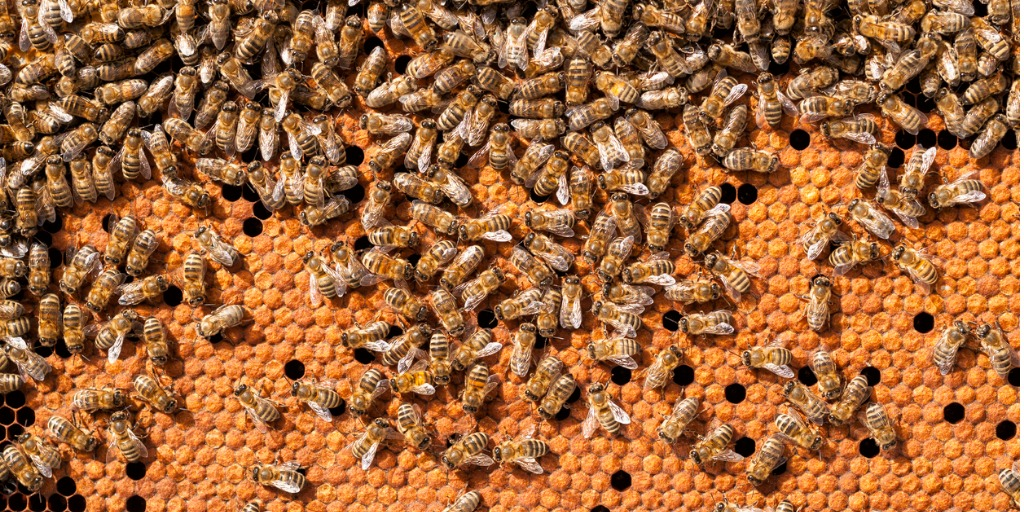 bees-broods-hardworking-on-honeycomb-in-apiary-picture-id598807098jpg