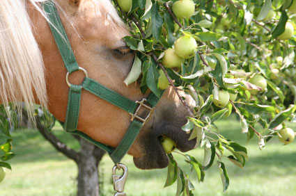 Horses love the taste of apples