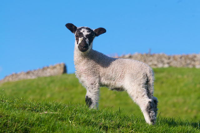 cute lamb in wensleydale